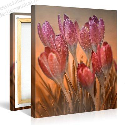Schilderij Roze Crocus Bloem Macro (80x80cm)