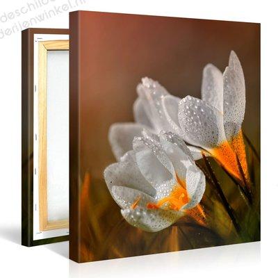 Schilderij Witte Crocus Bloemen (80x80cm)