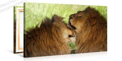 Schilderij Twee Leeuwen (100x50cm)